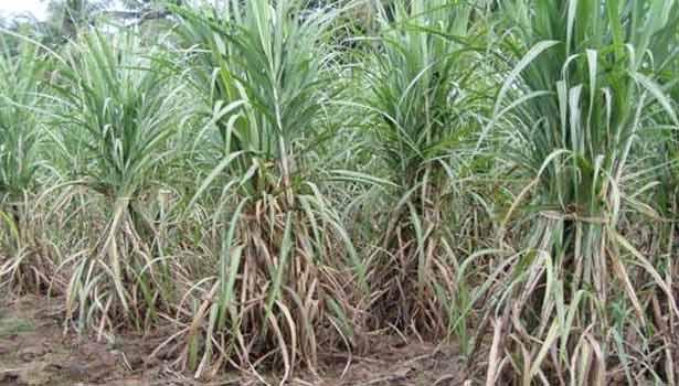 201707180941208061_baby-human-sacrifice-in-sugarcane-garden-near-mannargudi_SECVPF